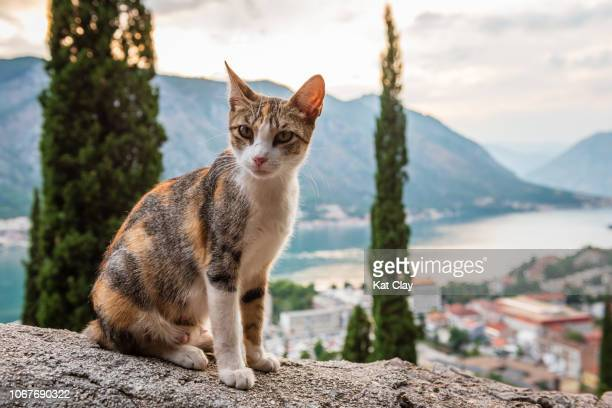 stray cat in kotor, montenegro - stray animal stock pictures, royalty-free photos & images
