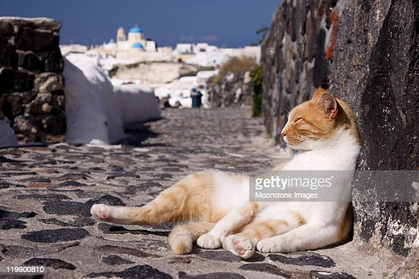 Stray cat in Oia on Santorini, Greece