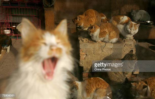 Stray cats are seen at a little animal protection base on February 12 2007 in Beijing China Beijing Little Animal Protection Association the only...