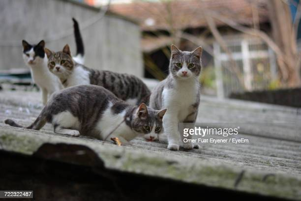Stray Cats On Roof
