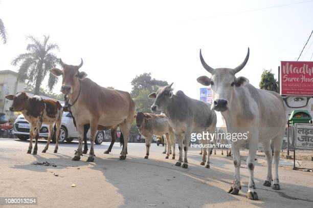 Stray cattle seen on a roadside near Nirala Nagar area on January 10 2019 in Lucknow India As per UP Government plan a cowshed with a capacity of...