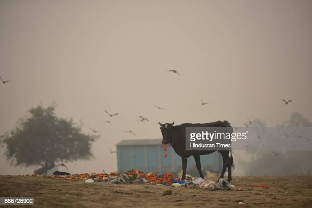 Stray cow eats the flowers thrown by devotees on the banks of river Yamuna as people of the city woke up to a hazy morning with monitoring stations...
