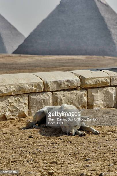 stray dog at the pyramids - damlo does imagens e fotografias de stock