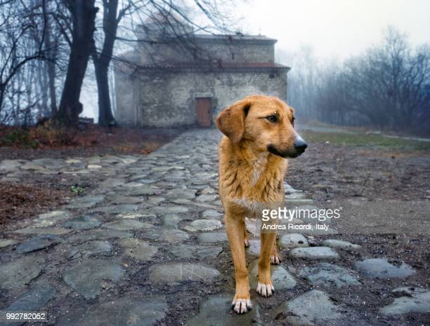 stray dog by an orthodox monastery, georgia - stray animal stock pictures, royalty-free photos & images