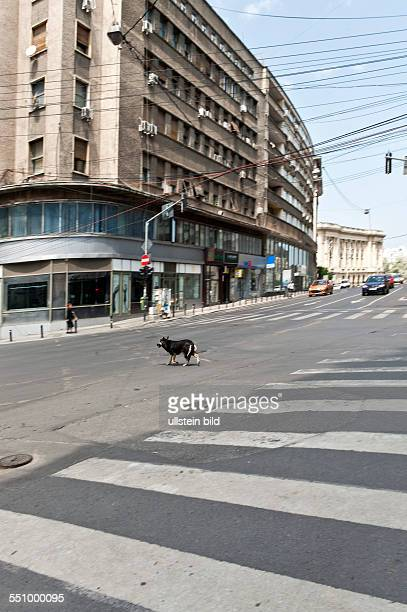 Stray dog crossing the junction of Calea Victoriei and Strada Ion Campineanu About 65000 stray dogs roam through the streets of the Romanian capital...