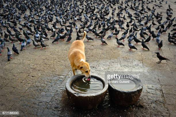 A stray dog drinking fresh water from large pots as a flock of pigeons look on in Mumbai, Maharashtra, India