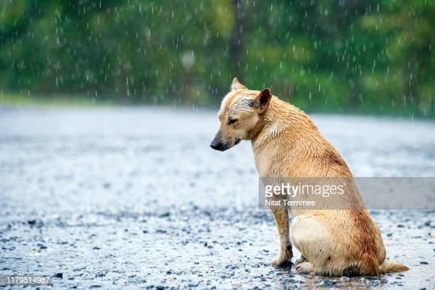stray dog getting wet in rain on country road. - abandoned stock pictures, royalty-free photos & images