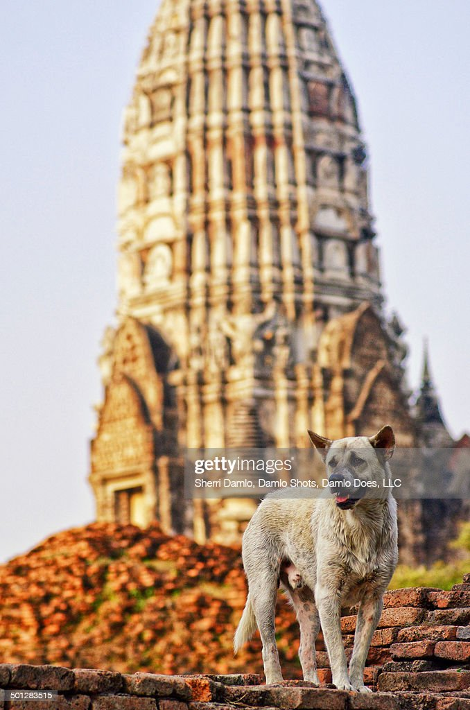 Stray dog in Thailand capital ruins : Stock Photo