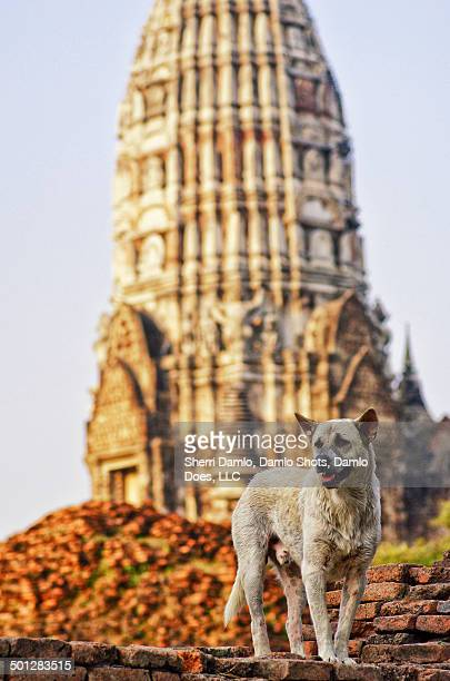 stray dog in thailand capital ruins - damlo does foto e immagini stock