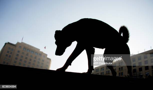 A stray dog is pictured in front of La Moneda presidential palace in Santiago on July 26 2017 On 27 July is celebrated the stray dogs international...