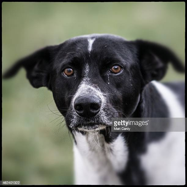 A stray dog is seen in the centre of Athens on January 27 2015 in Athens Greece Stray dogs are a common sight in Athens with many living in small...