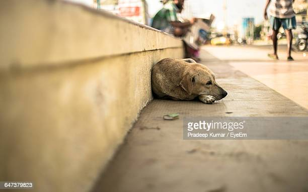 stray dog lying on footpath - animales salvajes fotografías e imágenes de stock