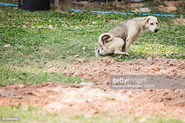 Stray Dog Pooping On Grass