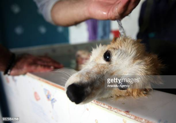 A stray dog receives thermal healing treatment at Esenyurt Municipality Animal Shelter in Istanbul Turkey on March 14 2018 The shelter treats around...