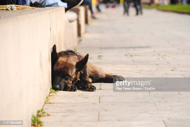 stray dog relaxing on footpath - stray animal stock pictures, royalty-free photos & images
