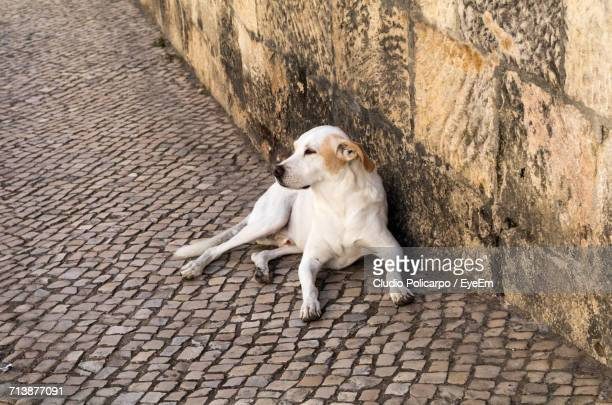Stray Dog Resting On Cobblestone Footpath By Wall