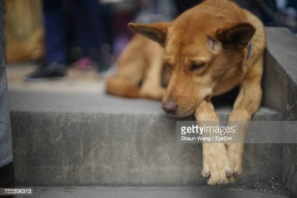 Stray Dog Resting On Steps