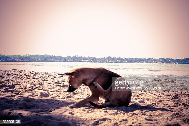 Stray Dog Scratching On Beach Against Clear Sky