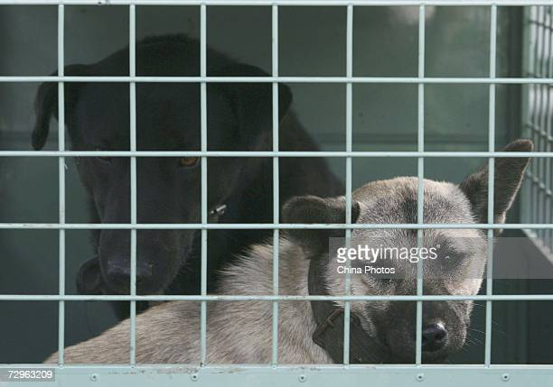 A stray dog seized by policemen looks out of its cage on a police car on January 10 2007 in Nanjing of Jiangsu Province China The city has launched a...