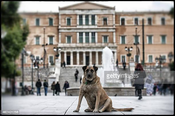 A stray dog sits in front of the Greek parliament building in the centre of Athens on January 27 2015 in Athens Greece Stray dogs are a common sight...