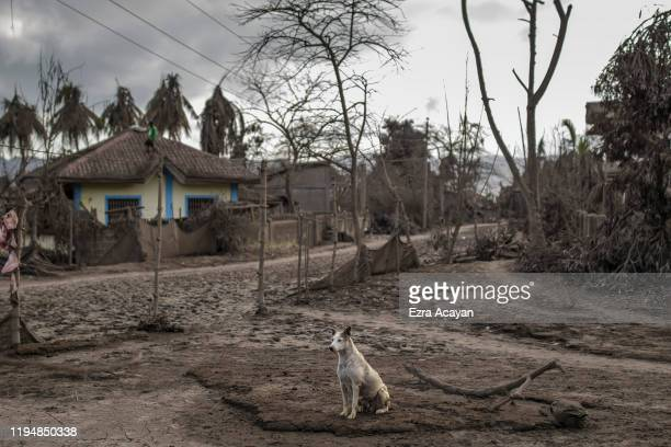 A stray dog sits on a street covered in volcanic ash from Taal Volcano's eruption on January 20 2020 in the village of Buso Buso Laurel Batangas...