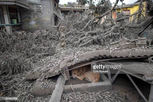 A stray dog sits under a roof that has collapsed due to heavy volcanic ash from Taal Volcano's eruption on January 20 2020 in the village of Buso...