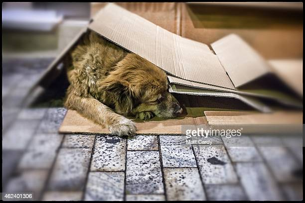 A stray dog sleeps in front of a branch of McDonald's in the centre of Athens on January 27 2015 in Athens Greece Stray dogs are a common sight in...
