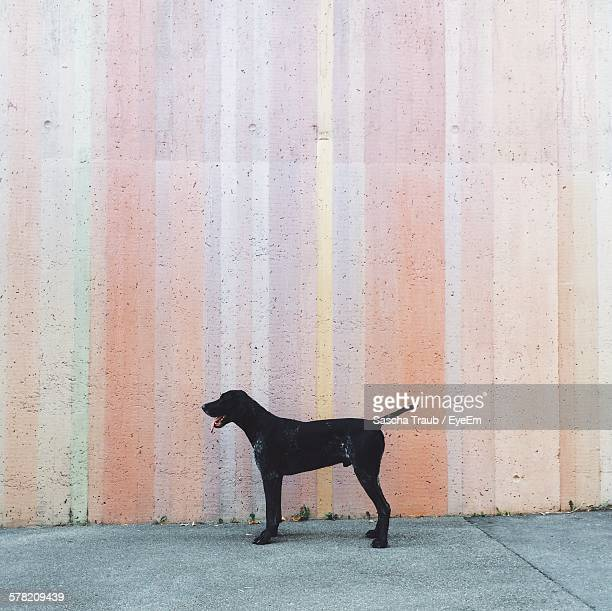 Stray Dog Standing Against Painted Wall