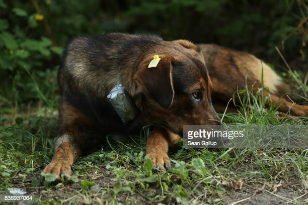A stray dog tagged and wearing a collar equipped with a GPS sensor and radiation sensor lies in the grass outside a makeshift veterinary clinic near...