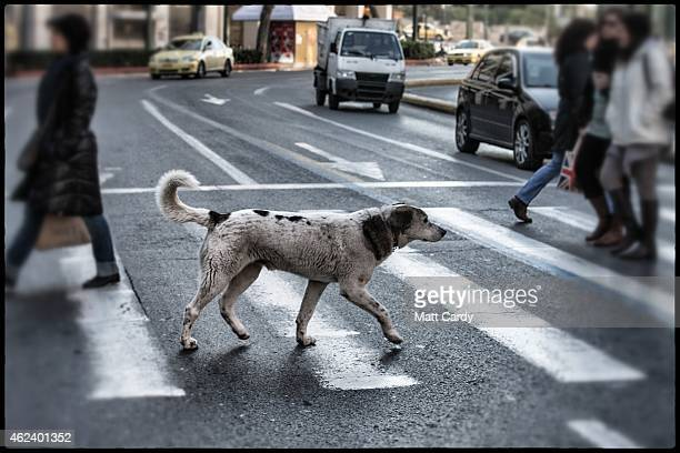 A stray dog uses a pedestrian crossing to cross a busy street in the centre of Athens on January 27 2015 in Athens Greece Stray dogs are a common...