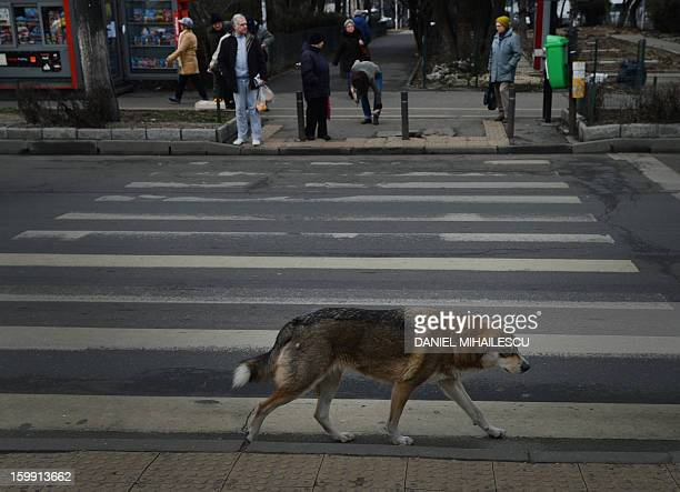 A stray dog walks along a crosswalk in Bucharest Romania on January 23 2012 Stray dogs crossing at crosswalks are being used by the Romanian traffic...