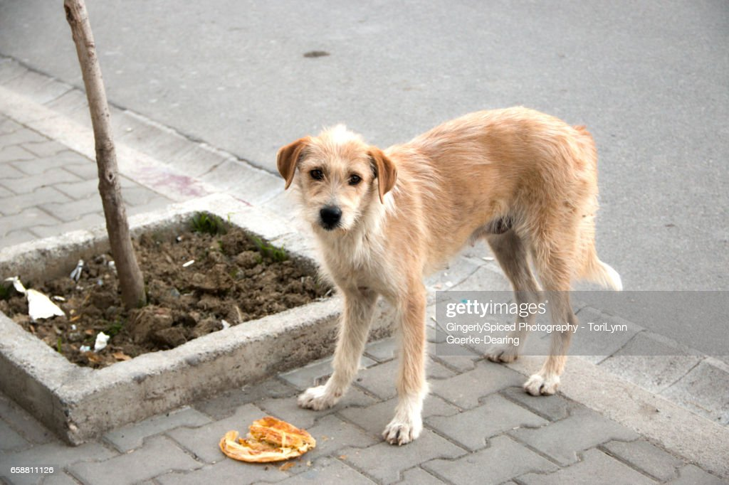 Stray Dogs A Universal Problem Stock Photo - Getty Images