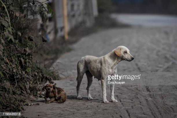 Stray dogs are seen on a road covered in volcanic ash from Taal Volcano's eruption on January 13 2020 in Lemery Batangas province Philippines The...