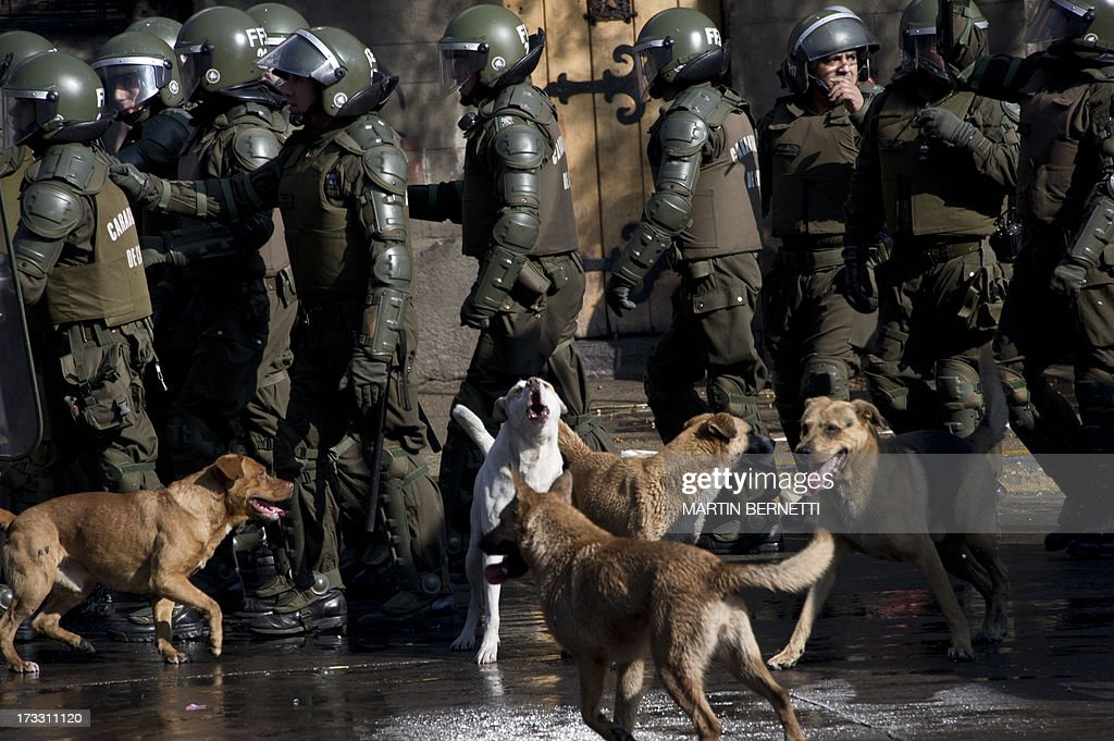 Stray dogs follow a column of riot policemen during a demonstration against the government of Chilean President Sebastian Pinera in Santiago on July 11, 2013 in Santiago. Since the beginning of the massive marchs of students protesting against the education system in 2011, scores of stray dogs happily participate in all the clashes with riot police, playing under the jets of the water cannons and accompanying the students whilst they are chased by police. In Santiago there are about 500,000 stray dogs, according to municipal authorities.