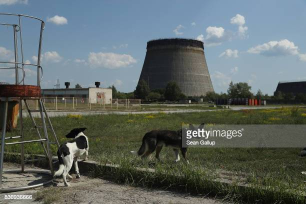 Stray dogs hang out near an abandoned partiallycompleted cooling tower at the Chernobyl nuclear power plant on August 18 2017 near Chornobyl Ukraine...