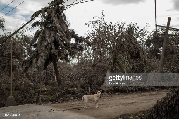 A stray dogs is seen next to trees covered in volcanic ash from Taal Volcano's eruption on January 18 2020 in Talisay Batangas province Philippines...