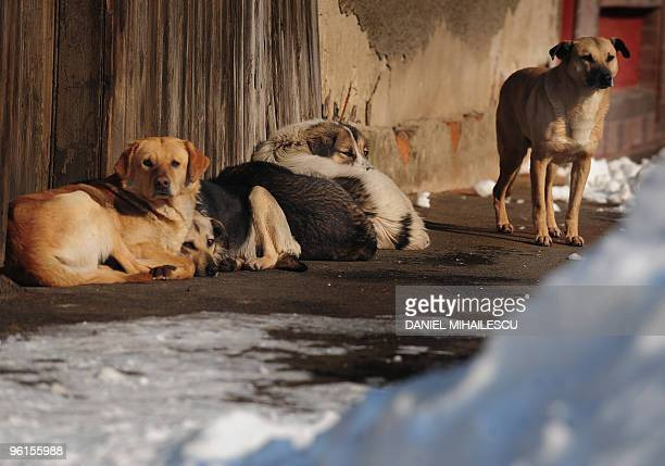 Stray dogs lay in the sun near a pile of snow in Bucharest on January 25 2010 A cold snap in Romania has left four more people dead as temperatures...