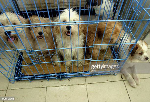 Stray dogs looking for loving owners at an animal shelter set up by Lu Di an activist who runs one of China's few shelters for animals which houses...