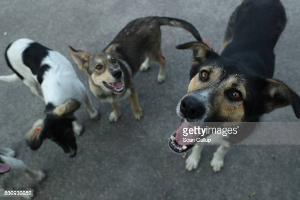 Stray dogs seek a handout of food outside the workers cafeteria at the Chernobyl nuclear power plant on August 17 2017 near Chornobyl Ukraine An...
