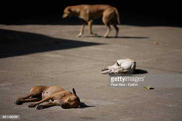 Stray Dogs Sleeping On Street