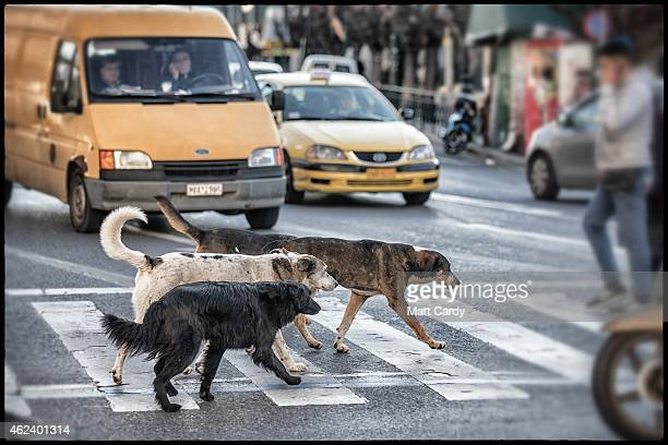 Stray dogs uses a pedestrian crossing to cross a busy street in the centre of Athens on January 27 2015 in Athens Greece Stray dogs are a common...