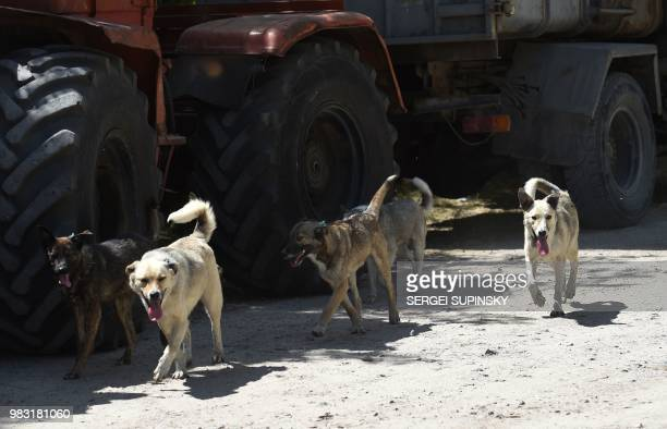 Stray dogs walk near the Chernobyl Nuclear power plant on June 8 2018 The restricted zone around Chernobyl is eerily quiet but one building near the...