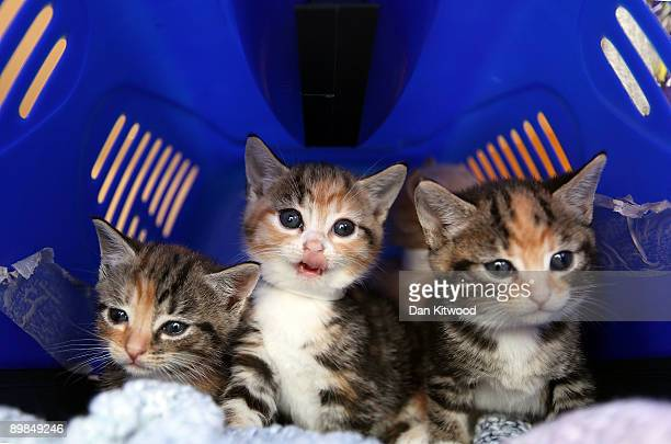 Stray kittens sit in a cat box at Battersea Dogs and Cats Home on August 18, 2009 in London, England. Battersea Dogs and Cats Home is seeing a sharp...