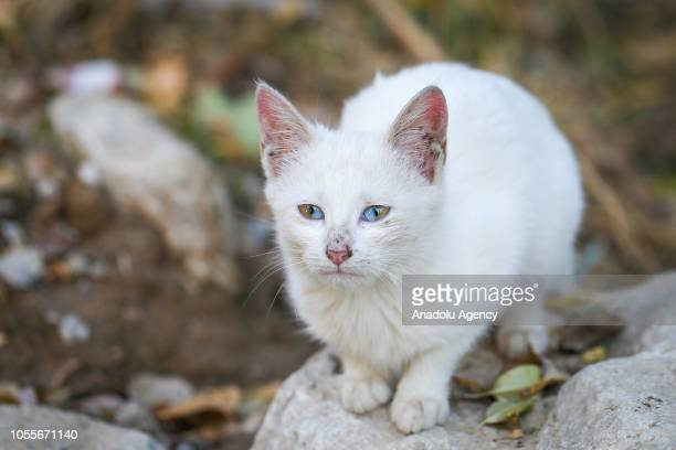 5bc0e952c9 A stray kitty which has eyes where each has two different colors a  condition referred to