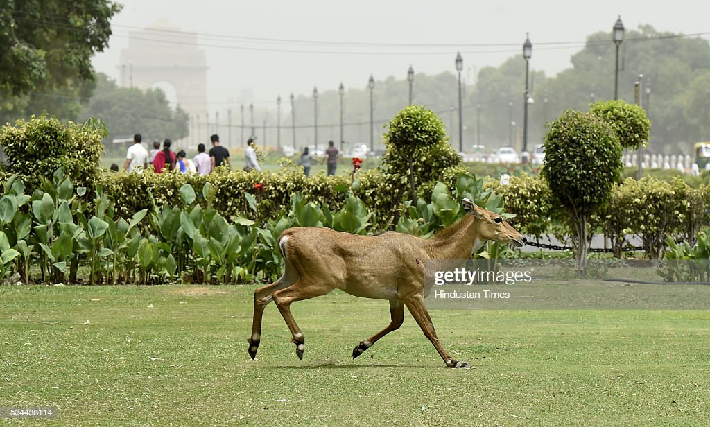 Nilgai Strays Into North Block Area, Rescued : News Photo