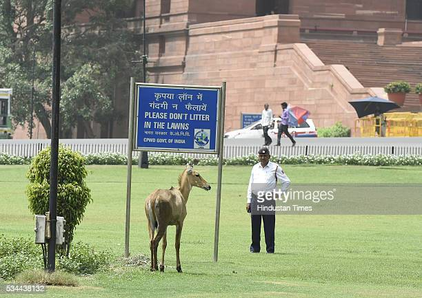 A stray Nilgai Calf was spotted lurking near a fountain at Vijay Chowk not far from PMO at North Block and South Block crossing at the Parliament...