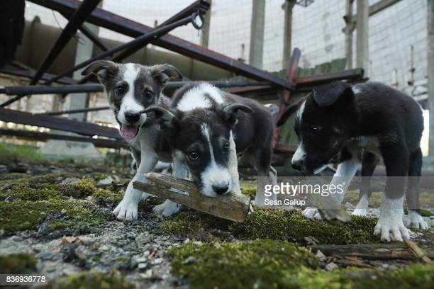 Stray puppies play in an abandoned partiallycompleted cooling tower inside the exclusion zone at the Chernobyl nuclear power plant on August 18 2017...
