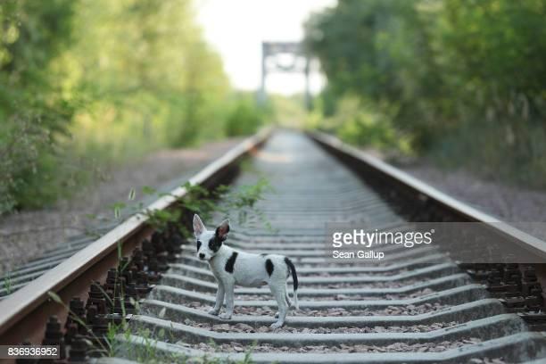 A stray puppy walks along abandoned train tracks near the Chernobyl nuclear power plant on August 19 2017 near Chornobyl Ukraine An estimated 900...