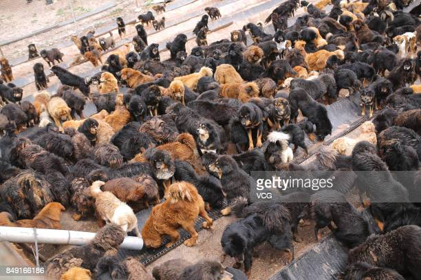 Stray Tibetan mastiffs wait for food at a dog shelter on August 20 2017 in Nangqian County Qinghai Province of China There are more than 600 stray...
