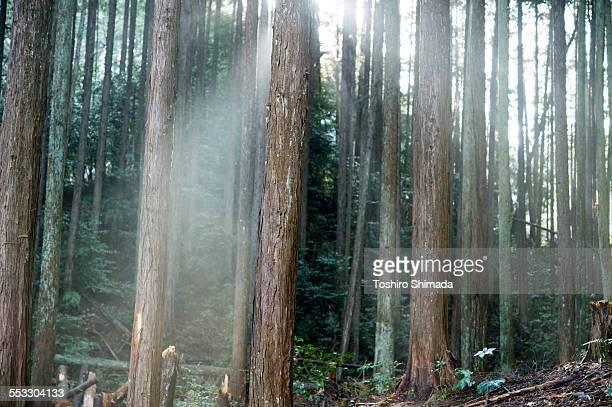 Streak of light in the forest